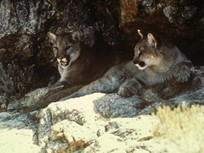 Cougars Could Lower Deer-Vehicle Crashes