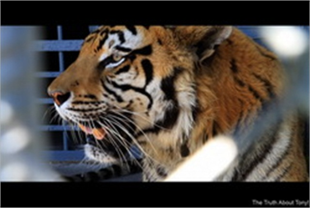 Tony the resident tiger at the Tiger Truck Stop in Grosse Tete, La. -- photo courtesy of Tiger Truck Stop.