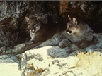 <p><em>Photo of cougars courtesy of U.S. Fish and Wildlife Service via Wikimedia Commons.</em></p>