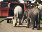 Transport an elephant. Faced with moving two baby elephants at London