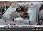 Wild Turkeys Causing Crashes