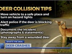 Deer Crashes on the Rise in N.C.